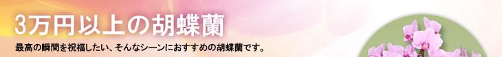 価格:3万円以上の胡蝶蘭