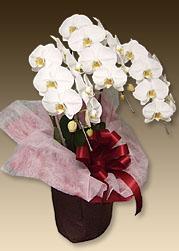 お祝いにおすすめの胡蝶蘭ベースホワイト3本立てはこちら