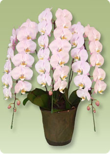 誕生日のサプライズといえば胡蝶蘭です