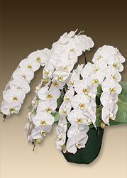 社長就任のお祝いにおすすめの花はプレミアムホワイト5本立て