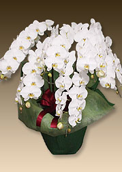 叙勲のお祝いにおすすめの花は胡蝶蘭プレミアムホワイト7本立てです