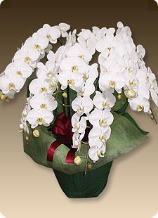 胡蝶蘭プレミアムホワイト7本立て