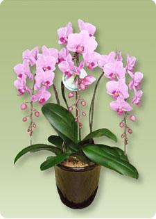 胡蝶蘭は素敵な贈り物です
