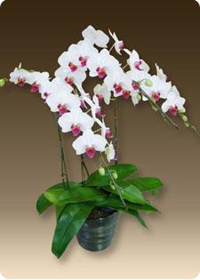 胡蝶蘭は高級なギフトです