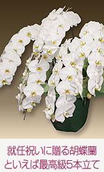 就任のお祝いに贈る胡蝶蘭といえば最高級5本立て