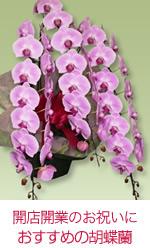 法人のお祝いにピンクの胡蝶蘭