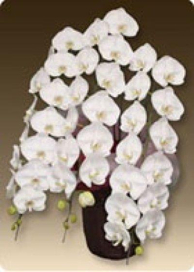 画像2: 【式典祝】胡蝶蘭プレミアムホワイト3本立て