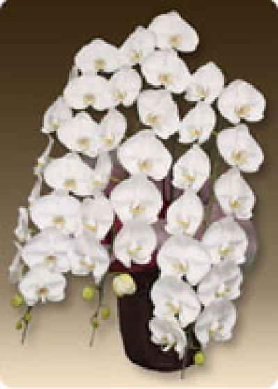 画像1: 胡蝶蘭ヴィーナスホワイト3本立て