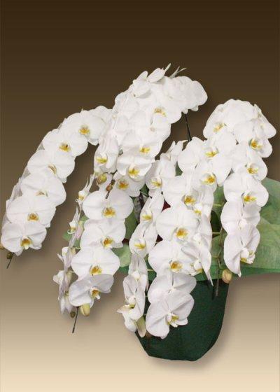 画像2: 胡蝶蘭ファーストホワイト3本立て