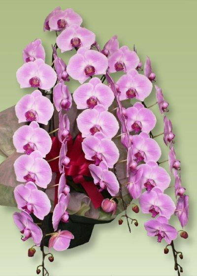 画像2: 胡蝶蘭プレミアムピンク5本立て