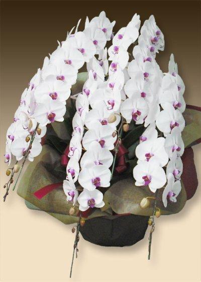 画像3: 胡蝶蘭ファーストホワイト3本立て
