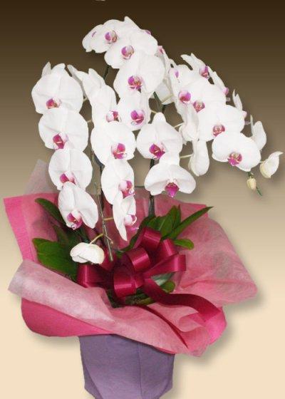 画像1: 胡蝶蘭ファーストホワイト3本立て