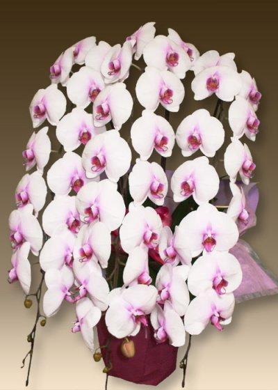 画像2: 胡蝶蘭ファーストホワイト5本立て