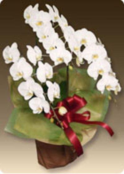 画像3: 【叙勲祝】胡蝶蘭プレミアムホワイト3本立て