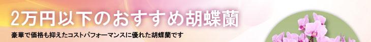 2万円以下のおすすめ胡蝶蘭