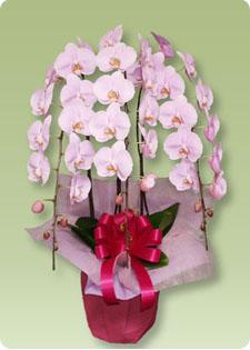 豪華なサプライズのプレゼントといえば胡蝶蘭