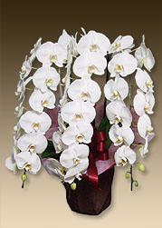 昇進のお祝いにおすすめの胡蝶蘭ヴィーナスホワイト3本立てです