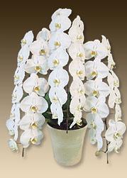 移転祝いにおすすめのお花のプレミアムホワイト3本立てはこちらです
