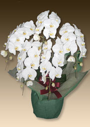 叙勲のお祝いにおすすめの花は胡蝶蘭ファーストホワイト5本立てです