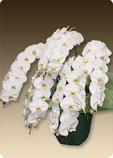 上場の記念式典におすすめの胡蝶蘭