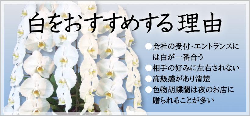 ホワイト胡蝶蘭をおすすめする理由