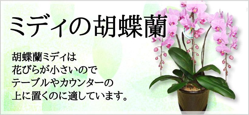 ミディの胡蝶蘭