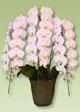 誕生日のサプライズに胡蝶蘭ヴィーナスピンク3本立てです