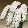 胡蝶蘭プレミアムホワイト5本立て