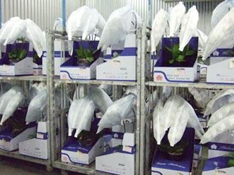 花市場の胡蝶蘭