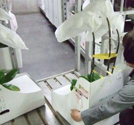 胡蝶蘭の搬出準備