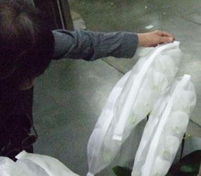 胡蝶蘭の鮮度確認