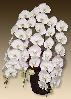 画像1: 胡蝶蘭ビューティーホワイト3本立て (1)