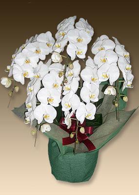 画像1: 胡蝶蘭ファーストホワイト5本立て (1)