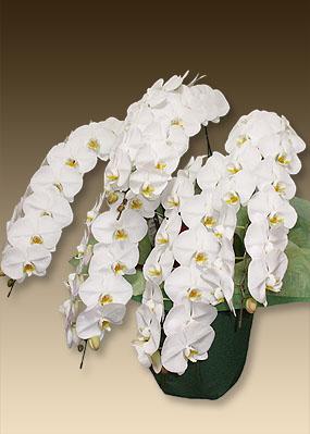 叙勲のお祝いにホワイト胡蝶蘭