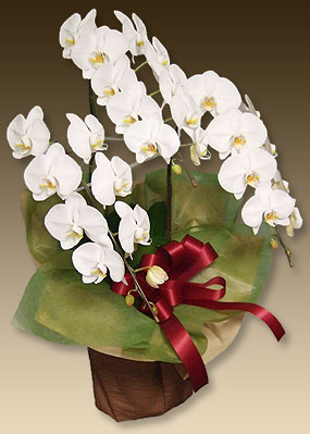 画像1: 胡蝶蘭ファーストホワイト3本立て (1)